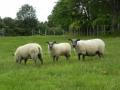Brenis Bleu du Maine avec 2 agneaux